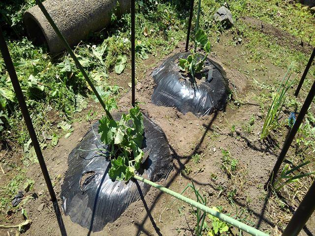 メロンの空中栽培。くだもの棚設置後の誘引
