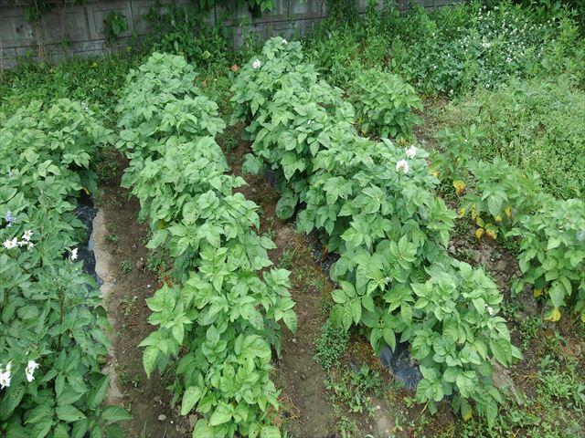 ジャガイモの試し掘り前の状況