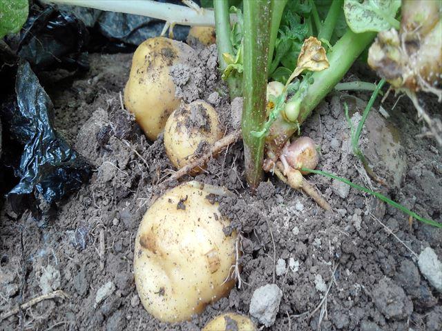 超浅植えマルチ栽培の試し掘り(マルチはがしたところ)