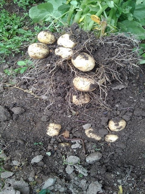 通常栽培の試し掘り(堀上げ後)