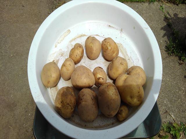 通常栽培試し掘り1回目の重量測定
