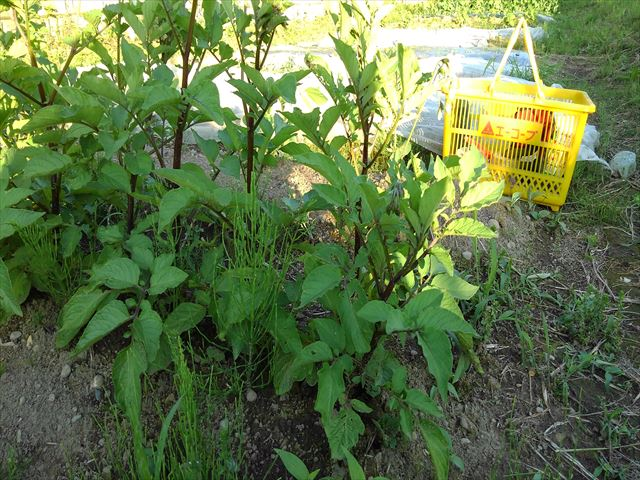 ジャガ芽挿し栽培の試し掘り