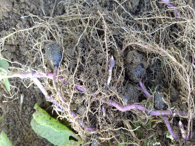 ジャガ芽挿し栽培中のシャドークイーン試し掘り