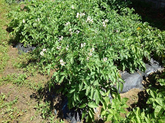 収穫前のシャドークイーン