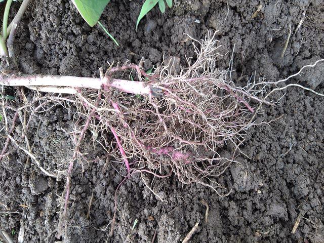 革新甘藷作法用の苗の根の状況