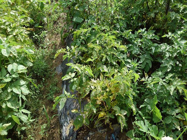 インカのめざめ収穫前(マルチ栽培)