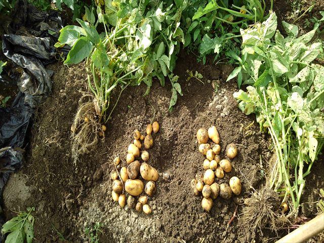 インカのめざめ収穫(超浅植えマルチ栽培)