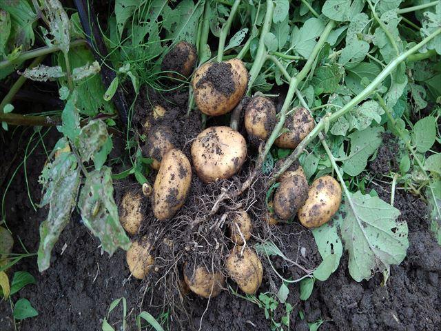 インカのめざめ収穫(通常栽培)