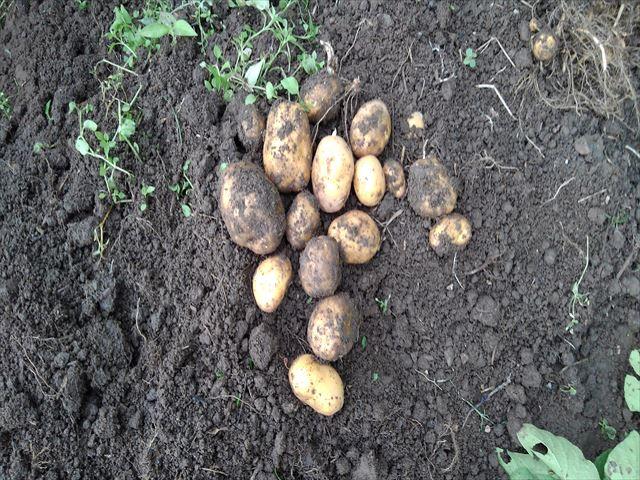 インカのめざめ収穫(通常栽培)その2
