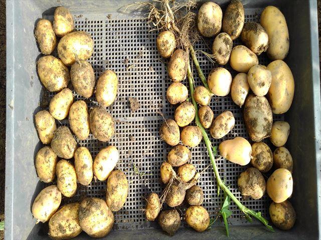 インカのめざめ収穫(合計)