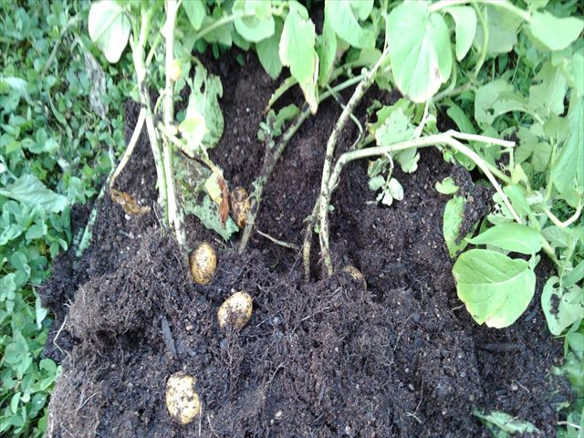 インカのめざめ肥料袋栽培(肥料袋から出したところ)