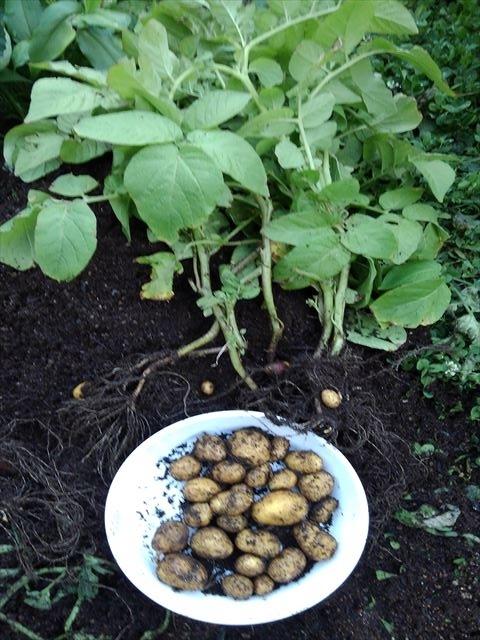 インカのめざめ肥料袋栽培(収穫後)