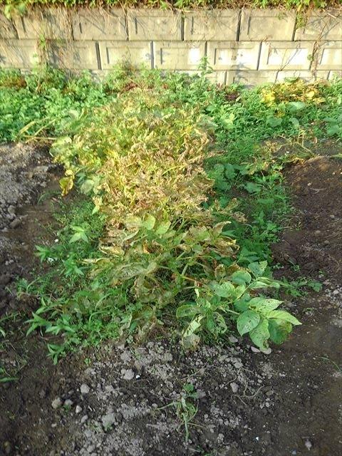 キタアカリ通常栽培(収穫前)