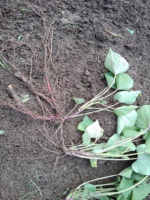 革新甘藷作法用のサツマイモの苗