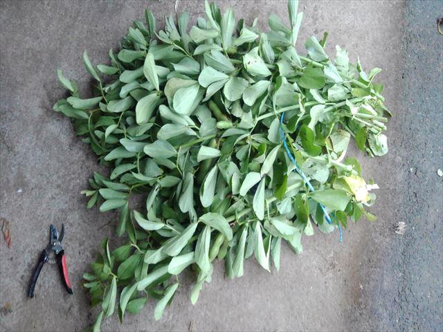 今年最後の空豆の収穫(2株分)