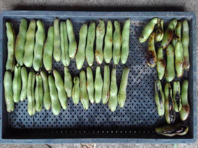 今年最後のソラマメの収穫(収量)