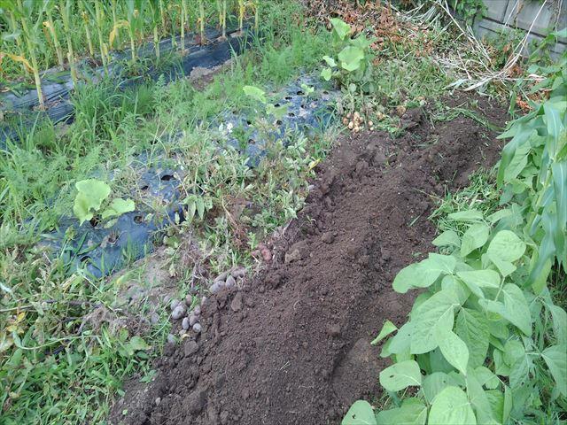 今年最後のジャガ芽挿し栽培の収穫