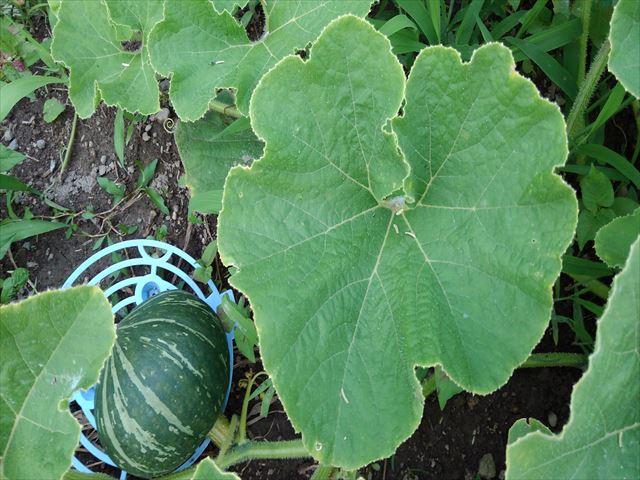 畑の方のミニカボチャの葉