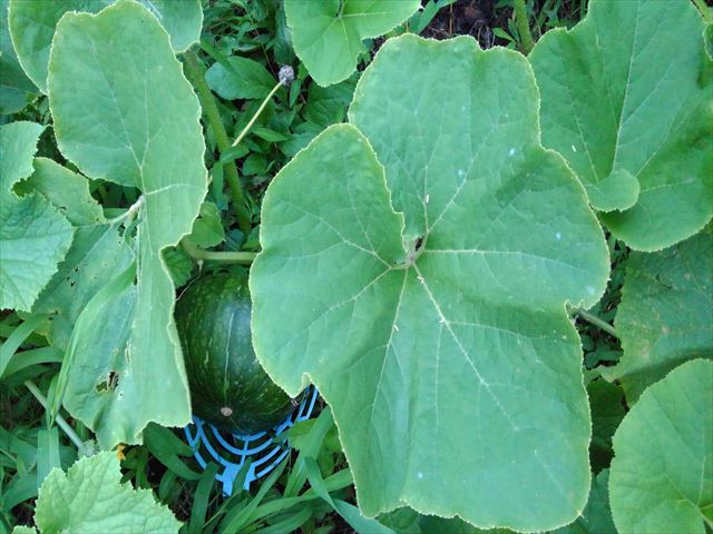 家の庭のミニカボチャ?の葉