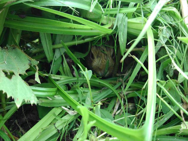 元の辺りに戻した後の野ウサギの赤ちゃん