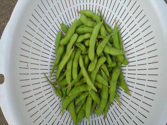 促成栽培のエダマメ収穫