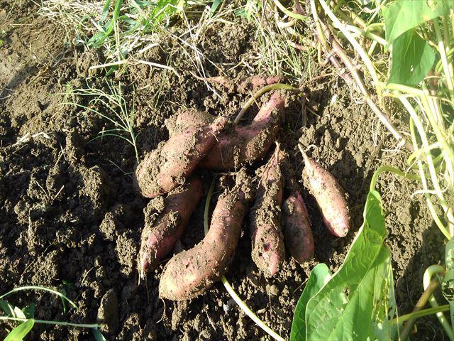 安納芋の苗取り用の苗試し掘り