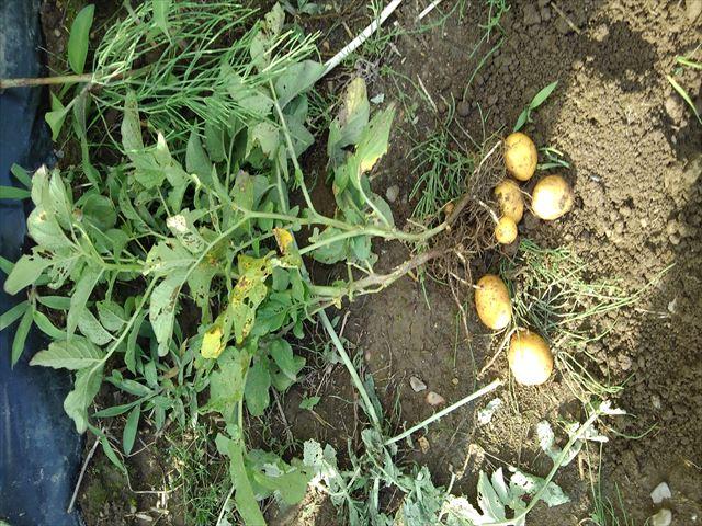 ジャガ芽挿し栽培の収穫
