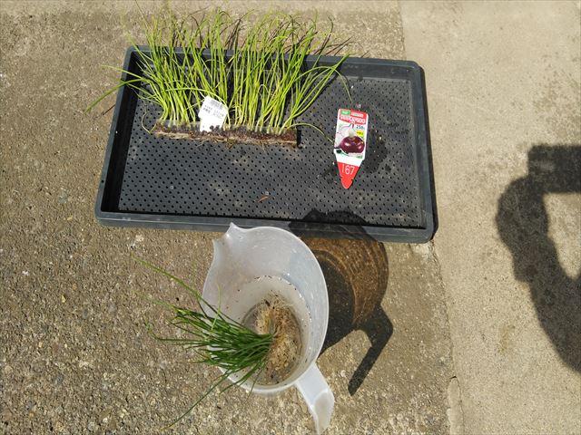 タマネギの苗をメネデール処理中