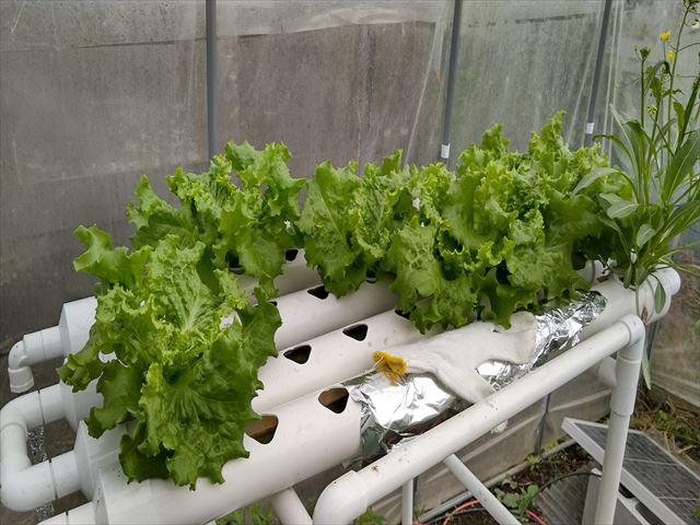 水耕栽培のリーフレタス