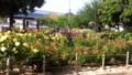 薔薇が咲いてきた@尼崎下田公園 #amagasaki