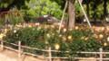 尼崎水明公園なう薔薇満開 #ilove #amagasaki
