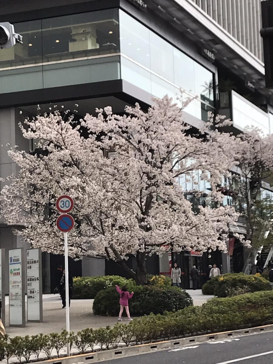 飯田橋サクラテラスの桜