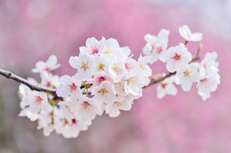 散る桜残る桜も散る桜,良寛辞世の句