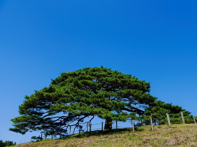 松樹千年の翠