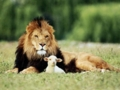 羊とライオン