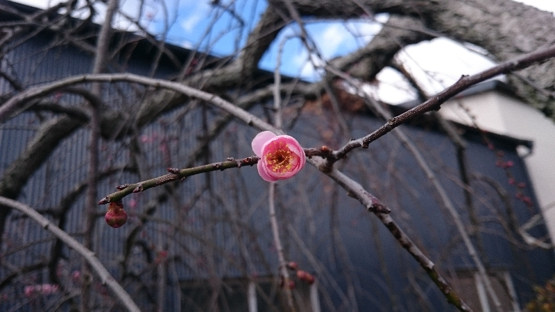 庭の枝垂れ梅。