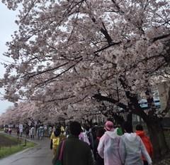 桜 春の一大事 ふじみ野市