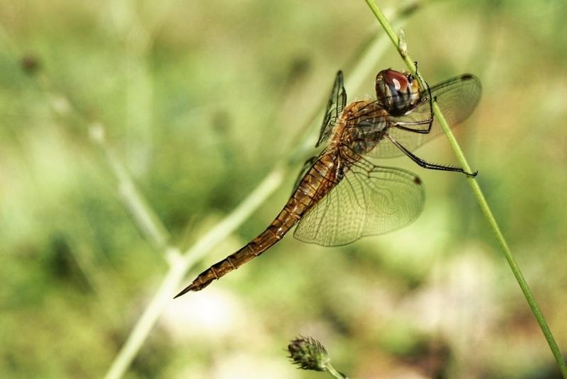 Rokkodragonfly
