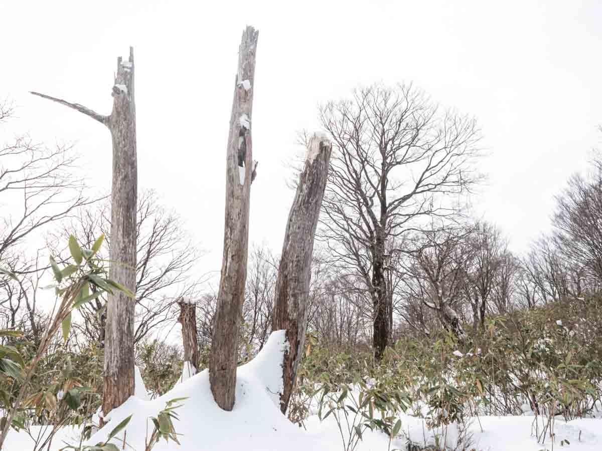 大日ヶ岳の3本の立ち枯れした木