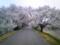 138ツインアーチ南。桜のトンネル。雨も降り暗くなってきた。