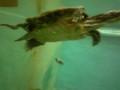 泳いでるカメさん