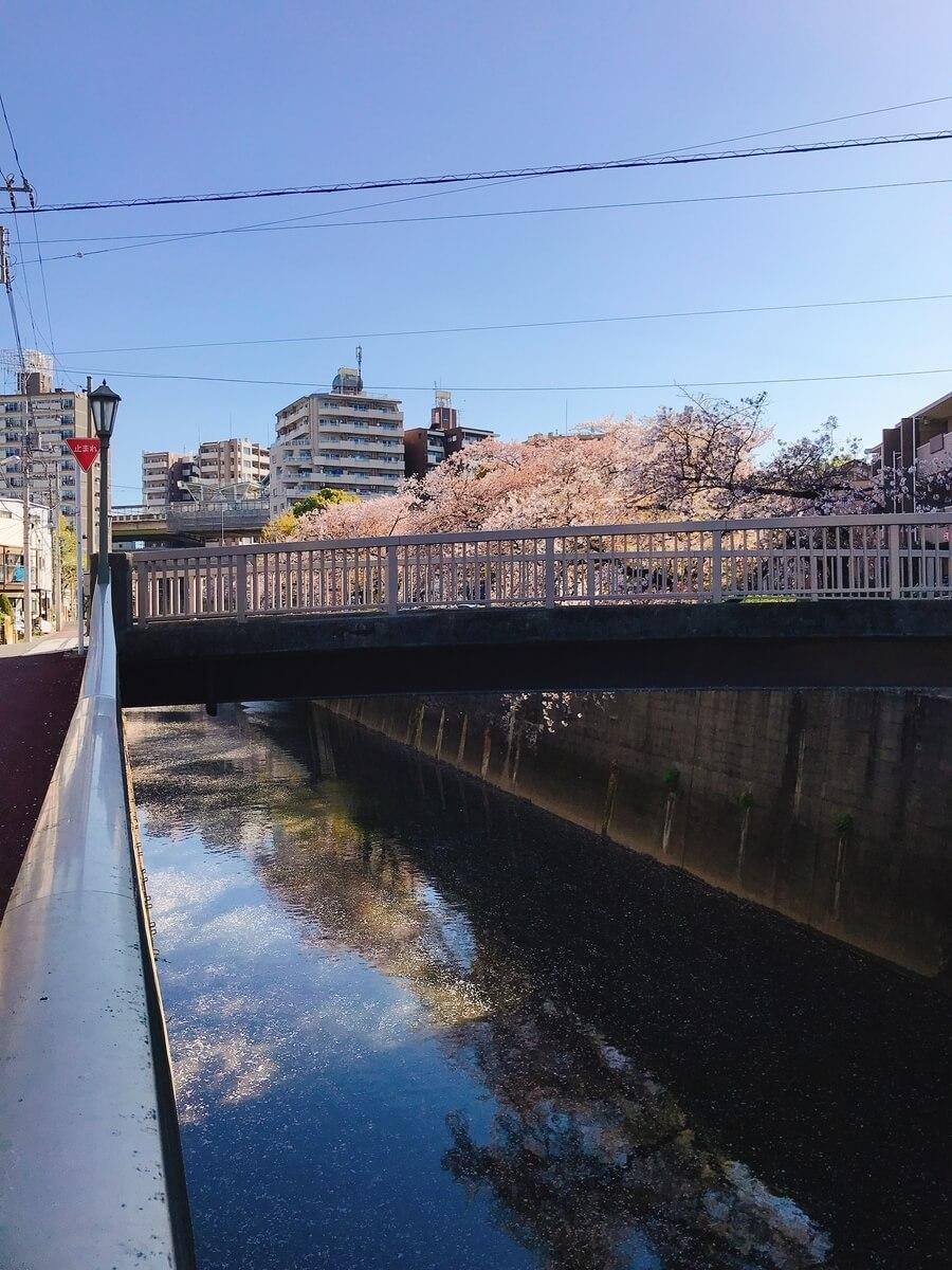 石神井川 堰の上橋の桜