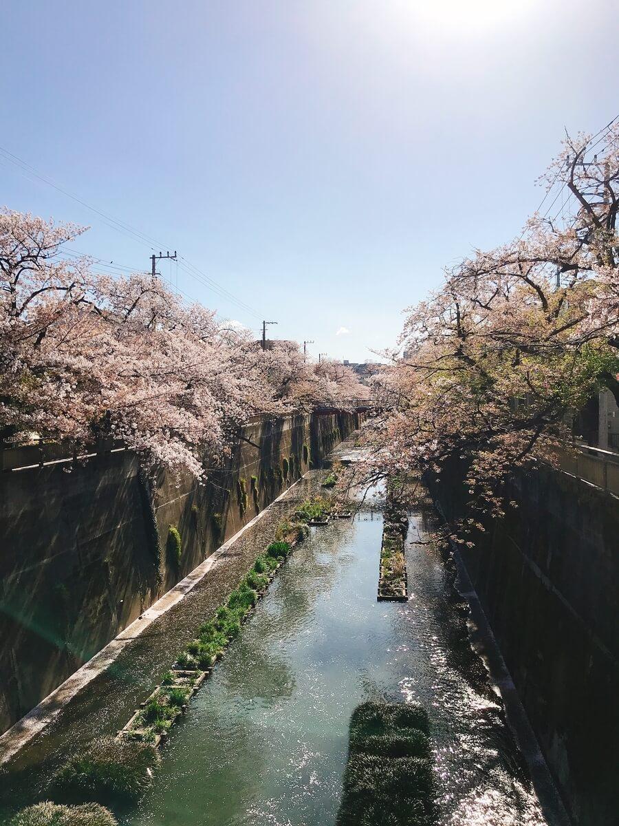 石神井川 中根橋の桜
