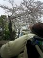 佐分利信旧宅の桜、半分裂けてしまった