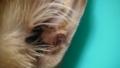 [ねこ][茶太郎]手術前2:左耳の腫瘍
