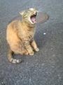 [猫]あくび