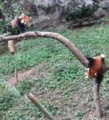 [動物]レッサーパンダ