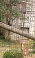 [動物]サーバル