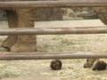 [動物]アフリカゾウ