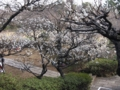 [風景]20090215よみうりランド聖地公園の梅